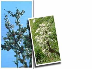 Stronachullin Topiary