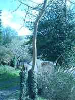 ash tree in need of a graft