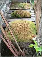 Saxifrage mounds hold on to life